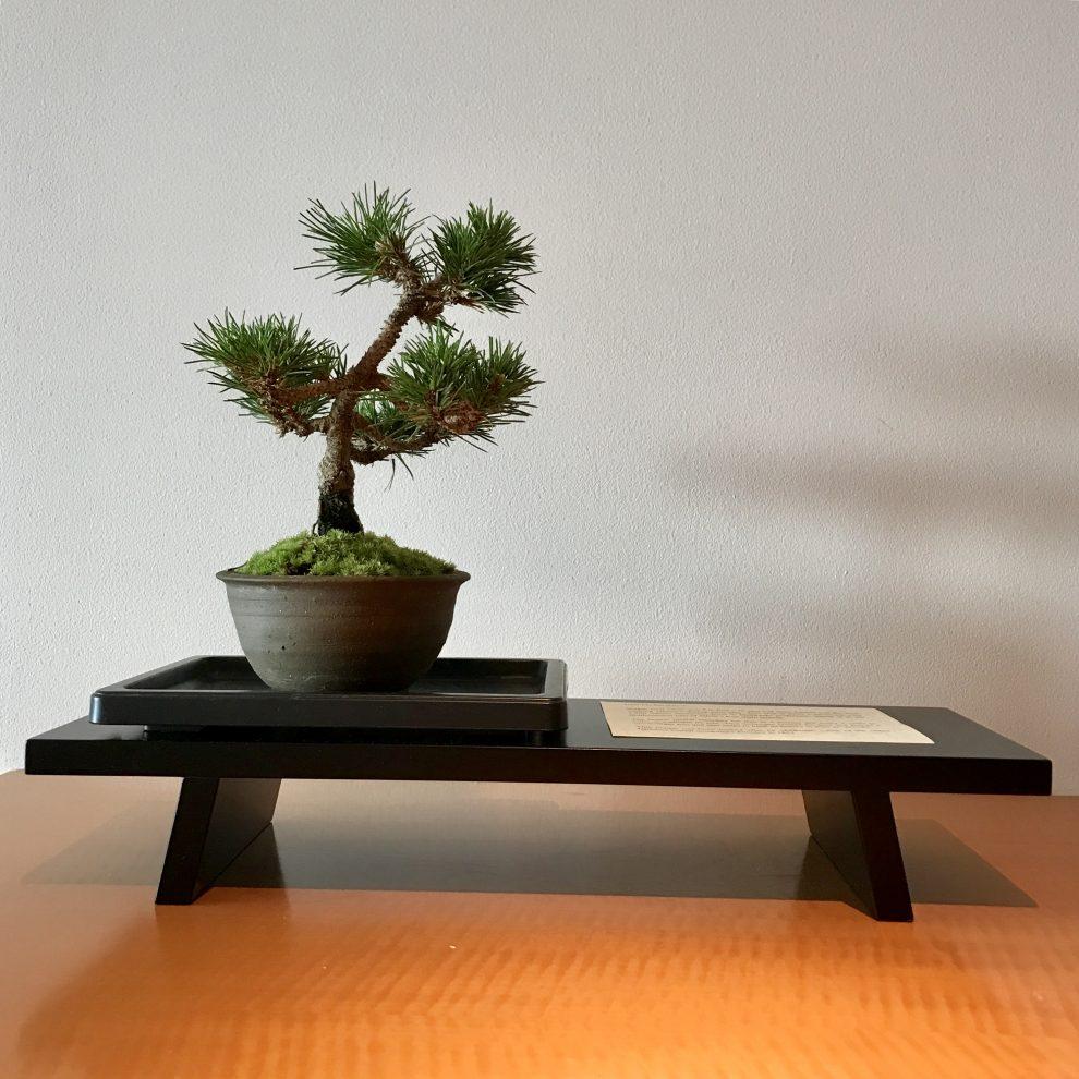 tokyo bonsai tree