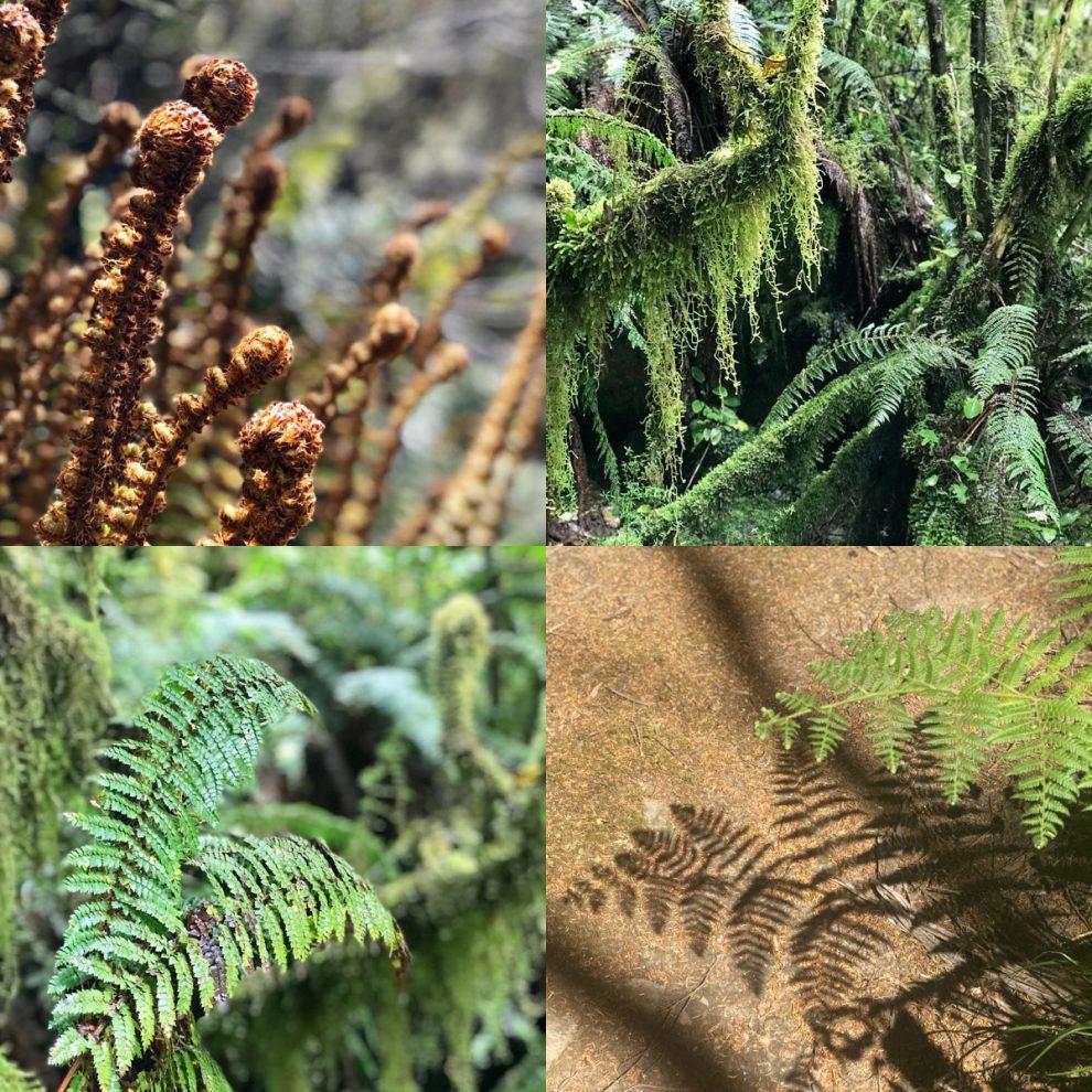 Ferns of New Zealand