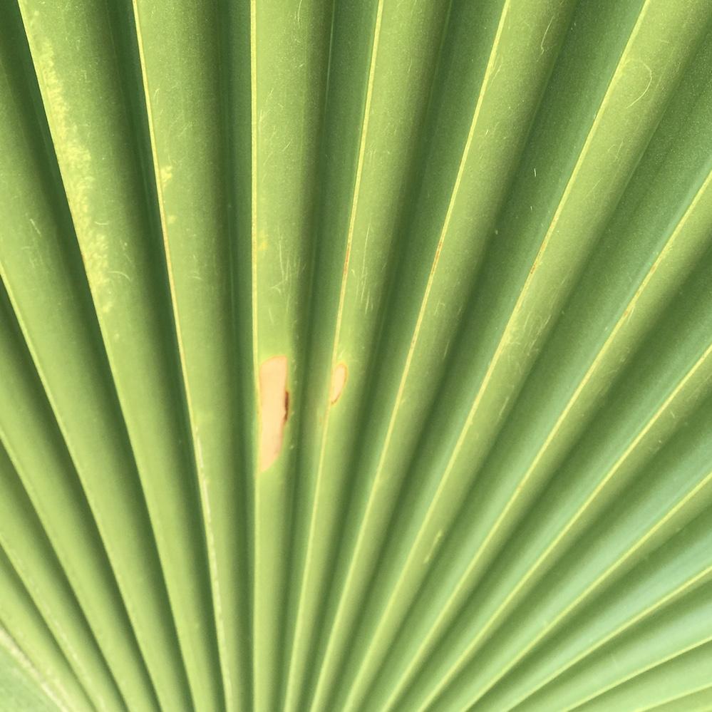 fiji palm tree detail